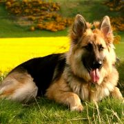 German Shepherd Magnificent Companion