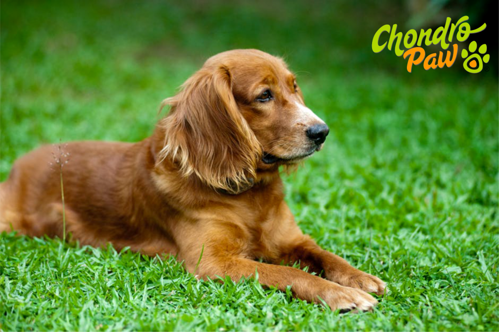 Chondropaw Canine Arthritis Treatment