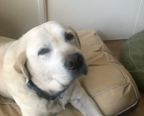 Old Labrador Arthritic Recovery
