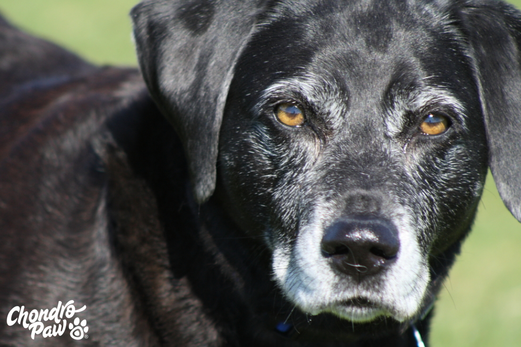 Older Labrador Retriever Dog