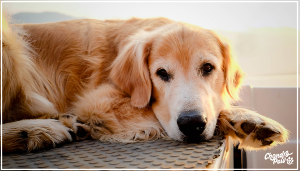 Old dog Golden Retriever with Arthritis